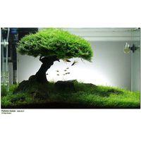 Аквариумное растение: Мох яванский (Vesicularia dubyana)