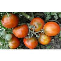 Семена томата Dwarf Kangaroo Paw Brown(Лапа кенгуру коричневый)