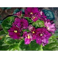 Фиалка с цветами цвета спелой вишни, края лепестков волнистые, цветение обильное и продолжительное - свежесрезанный листок