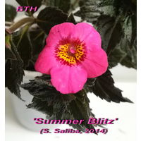 Ахименес Summer Blitz'(S. Saliba, 2014)