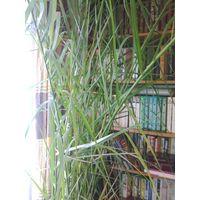Пальма финиковая в горшке. Высота 2,7 м. ТОРГ