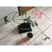 Филодендрон молодое растение Цена на фото