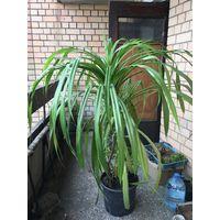 Панданус пальмы большая для офиса коттеджа
