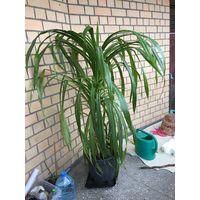 Пальма винтовая Панданус пандан Красавица огромное шикарное растение для офиса или коттеджа с множеством отростков деток по стволу