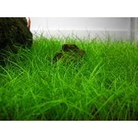 Аквариумные растения: Аквариумные растения: Элеохарис карликовый