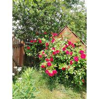 Саженец роза плетистая