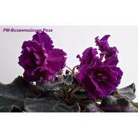 Фиалка РМ-Византийская Роза (детка фото в лоте)