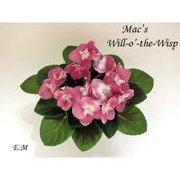 Фиалка Mac's Will-O-the-wisp (молодое растение) полумини