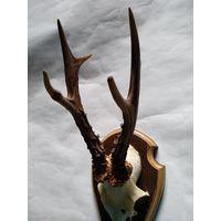 Рога косули на медальоне.Длина рогов-230мм.