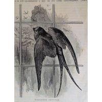 Городская ласточка.  гравюра 1901г. 23х18см.