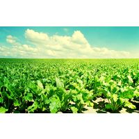 Курсовая - Повышение эффективности производства сахарной свеклы - Экономика организации