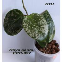 Хойя Hoya acuta, EPC-997
