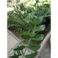Замиокулькас, долларовое дерево
