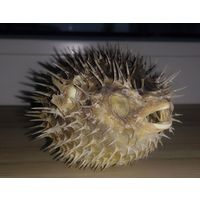 Чучело рыбы-ёж из отряда иглобрюхообразных, ещё одно название -- рыба-шар.