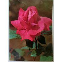 Открытка роза ,мелина,1982 г.