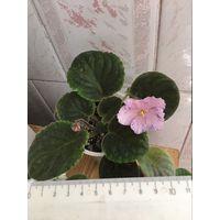 Фиалка розовая с фиолетовым фэнтази отцвела