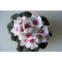 Фиалка Rhapsodie Roxana, взрослое растение.