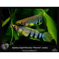 Аквариумные рыбы эпиплатис дагети