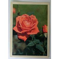 Открытка роза ,сьюпер стар ,1982 г.