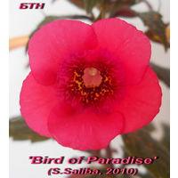 Ахименес 'Bird of Paradise' (S.Saliba, 2010)