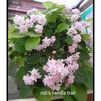 Фиалка rob's vanilla trail