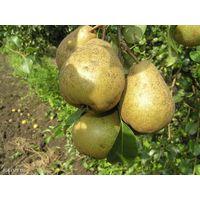 Груши, плоды свежие, сорт Белорусская поздняя. Цена договорная за килограмм.