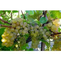 Саженцы винограда Кристалл