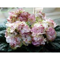 Фиалка ЛЕ-Парнасская Роза (растение с фото)