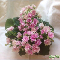 Фиалка Kentuckeye Gooseberries (св.лист) полумини