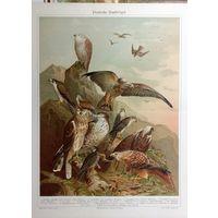 ХРОМОЛИТОГРАВЮРА  Deutsche  Raubvogel    ГЕРМАНИЯ  конец 19 века.