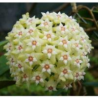 Хойя Hoya parasitica
