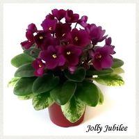 Фиалка Jolly Jubilee (св.лист) мини