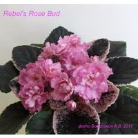 Фиалка Rebel's Rose Bud (детка фото в лоте)