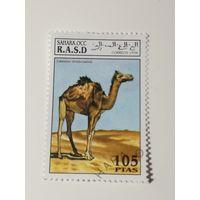 Сахара 1994. Верблюд