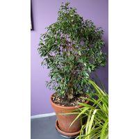 Фикус растения цветочный горшок
