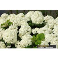 Гортензия роскошная белая (меняет цвет)