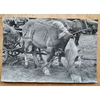 Фото лошади с телегой. 1950-е. 15х22 см