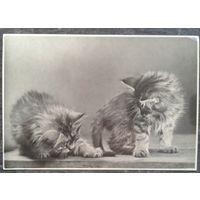 Котята. Фотооткрытка. 1956 г. Чистая.