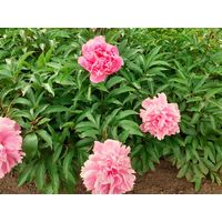 Пионы розовые  бордовые   белые
