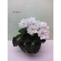 Фиалка полумини БР-Афина - зацветающая розетка  (фото в лоте)