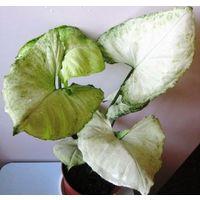 Сингониум sp. с белым округлым листом