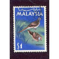 Малайзия. Полосатая горлица