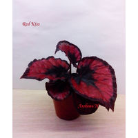 Бегония Red Kiss -   детка (фото в лоте)