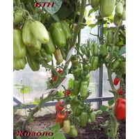 Семена томата Жиголо