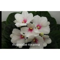 Фиалка rhapsodie roxanna