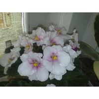 Фиалка нежно-розовая, с вишневой серединкой цветка, полумахровая, цветы средние по размеру, но цветение всегда очень обильное и продолжительное