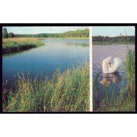 Беловежская пуща Лебедь-шипун