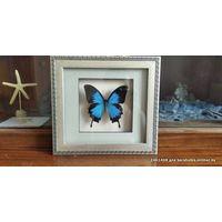 Бабочка Парусник Улисс