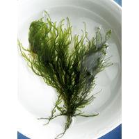 """Аквариумные растения: Мох Флейм (Taxiphyllum sp. """"Flame"""")"""