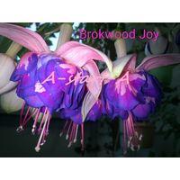 Фуксия Вrokwood Joy свежесрезанный черенок